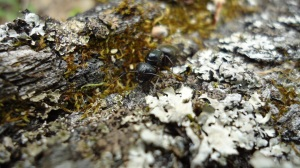 Camponotus pennsylvanicus (Carpenter ant) at Camp Johnson, VT