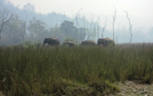 Elephants during fire season, May 2012, Rajaji National Park, Uttarakhand