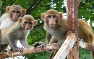 Young Rhesus Macaques behind Guest House at WII